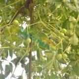 11公分苦楝树