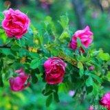 40公分高的食用玫瑰