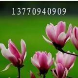紫玉兰|红玉兰 价格