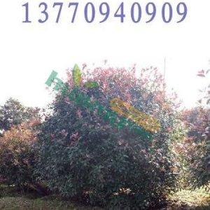 红叶石楠 价格