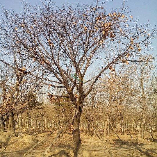 獨干蒙古櫟