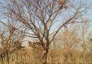 独干蒙古栎