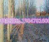 新疆杨基地