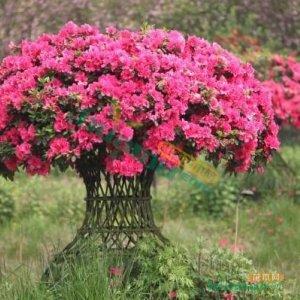 杜鹃花瓶,高杆杜鹃花,条子