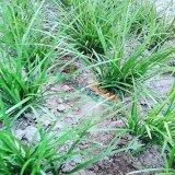 山东麦冬草草坪价格