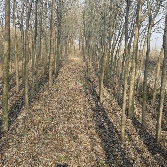 安徽速生柳种植基地