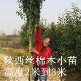 丝棉木小苗12345公分