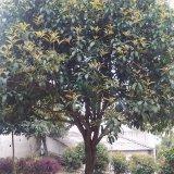 八月桂花树