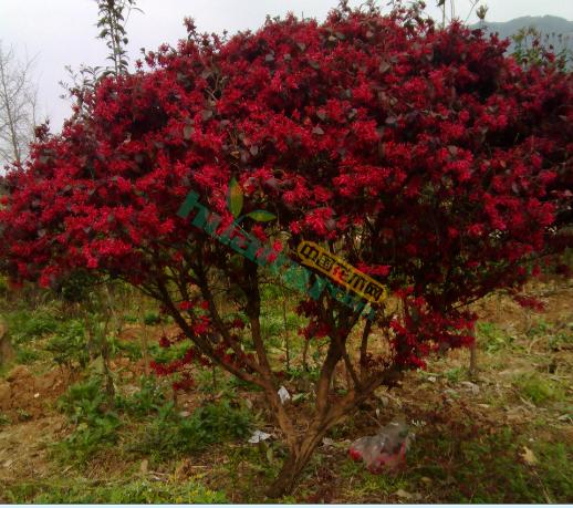 精品紅榿木