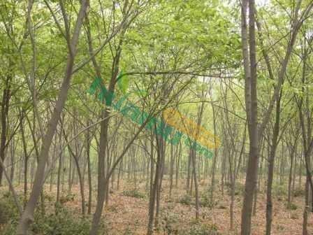 朴树15公分