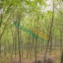 榉树20公分