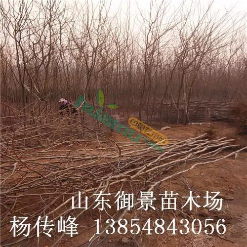 山东皂角种植基地 高50公分皂角多少钱 皂角价格