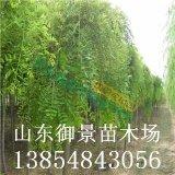 国槐什么季节种植 国槐价格 山东国槐基地 御景苗木场