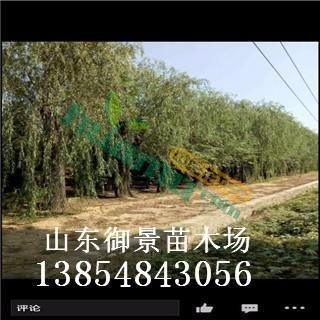 御景苗木场供应15公分垂柳 垂柳品种 垂柳多少钱 哪里便宜