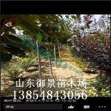10公分樱花哪里有? 御景苗木场出售10公分樱花