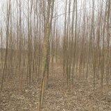 新品种柳树109