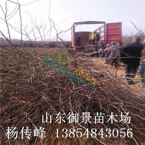 山东皂角繁育场 2米皂角最新价格 皂角的种植技术