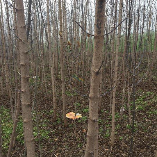3到4公分青叶复叶槭