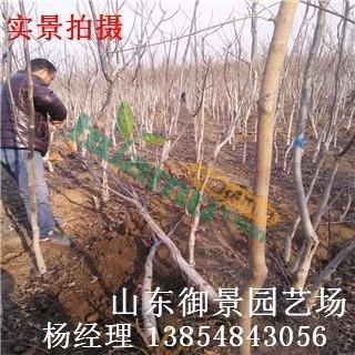 出售5公分核桃树 6公分核桃树 核桃树品种 核桃树价格