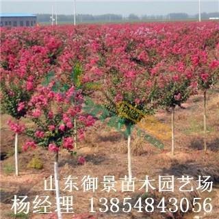 御景紫薇種植基地 4公分紫薇 5公分紫薇 6公分紫薇 紫薇價格