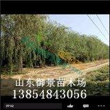 出售10公分垂柳 15公分垂柳 垂柳价格 垂柳规格