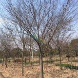15公分精品榉树
