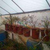 紫石榴盆景苗木