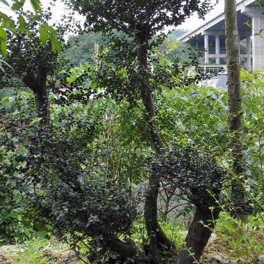 小葉珍珠黃楊盆景