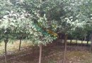 高20-30公分红叶石楠