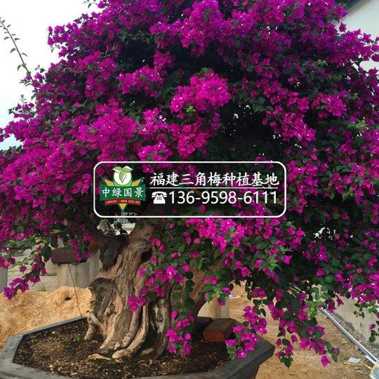 【福建三角梅盆景】精品,小桩景,小盆景