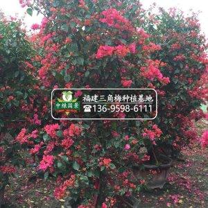 漳州三角梅柱形高度80-250公分