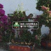 【三角梅树桩盆景】大规格桩景,造型三角梅