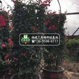 【大规格三角梅柱】精品货,高度150-400公分