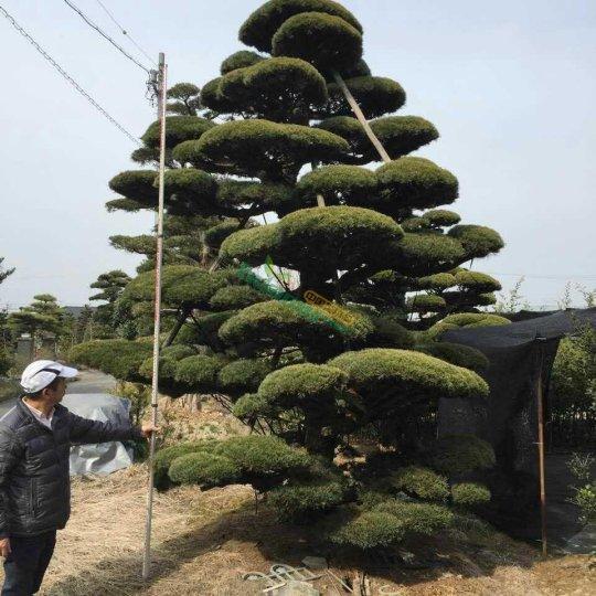 五针松盆景,进口五针松,日本大阪松,大板松盆景