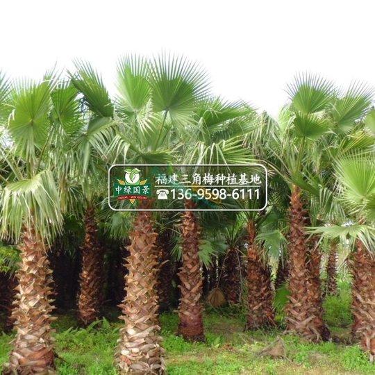 福建華棕地栽苗桿高50-800公分