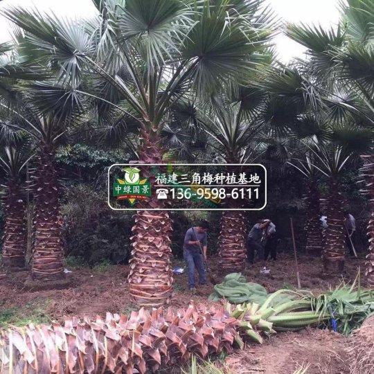 漳州老人葵地苗杆高50-800公分