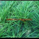 优质品种麦冬草