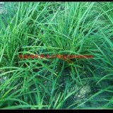 优质金叶麦冬草