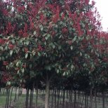 红叶石楠树3-5CM