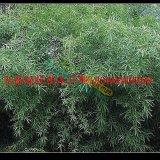 优质早园竹