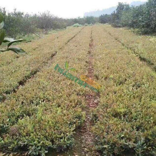 中华蚊母苗