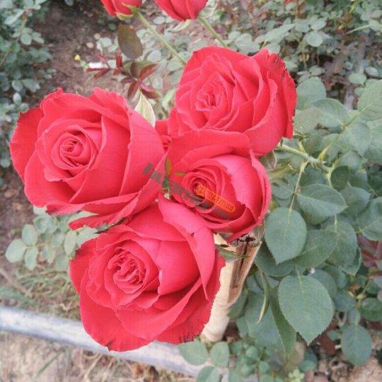 紅色玫瑰種苗