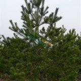 2.5米高樟子松