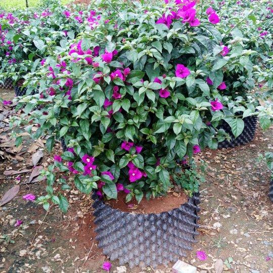 高度80公分紫色三角梅云南基地批发价格