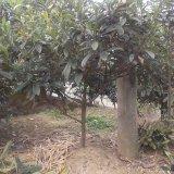 15公分枇杷树