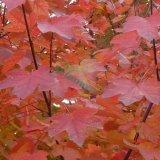 十月光辉红枫