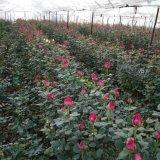 广西玫瑰花