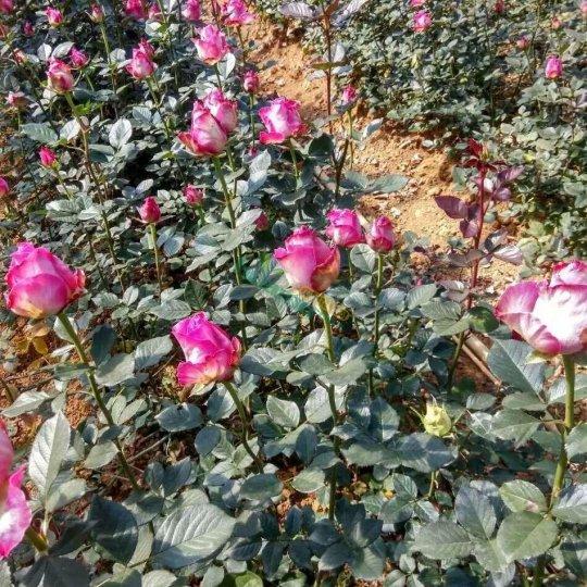 廣西桂林方芳玫瑰
