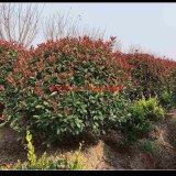 多种规格红叶石楠球