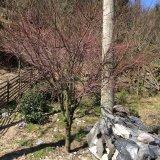 10公分 槭枫